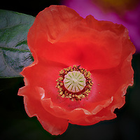 Red Poppy flower. Composite of 51 focus stacked images taken with a Nikon D850 camera and 105 mm f/2.8 macro lens + 2.0x TCE-III (ISO 100, 210 mm, f/8, 1/30 sec). Raw images processed with Capture One Pro and Helicon Focus Pro.