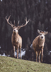 THEMENBILD - ein Rothirsch mit Hirschkuh auf einer Wiese in einem Wildtiergehege, aufgenommen am 07. März 2019 in Aurach, Oesterreich // a red deer with a red deer hind on a meadow in a wild animal enclosure in Aurach, Austria on 2019/03/07. EXPA Pictures © 2019, PhotoCredit: EXPA/ JFK