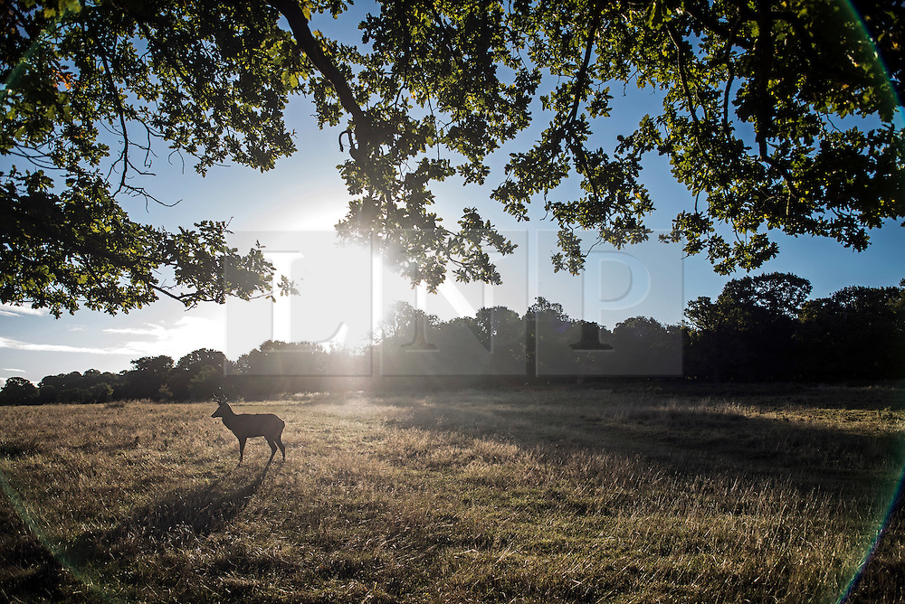 © Licensed to London News Pictures. 09/10/2016. London, UK. A lone deer seen standing in Richmond park at sunrise on a bright Autumnal morning. Photo credit: Ben Cawthra/LNP