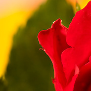 Red rose photographed with a macro lens with a shallow depth of field with green leaf on a yellow background