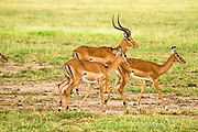 Male and female Impala in the grassland, Serengeti National Park, Tanzania