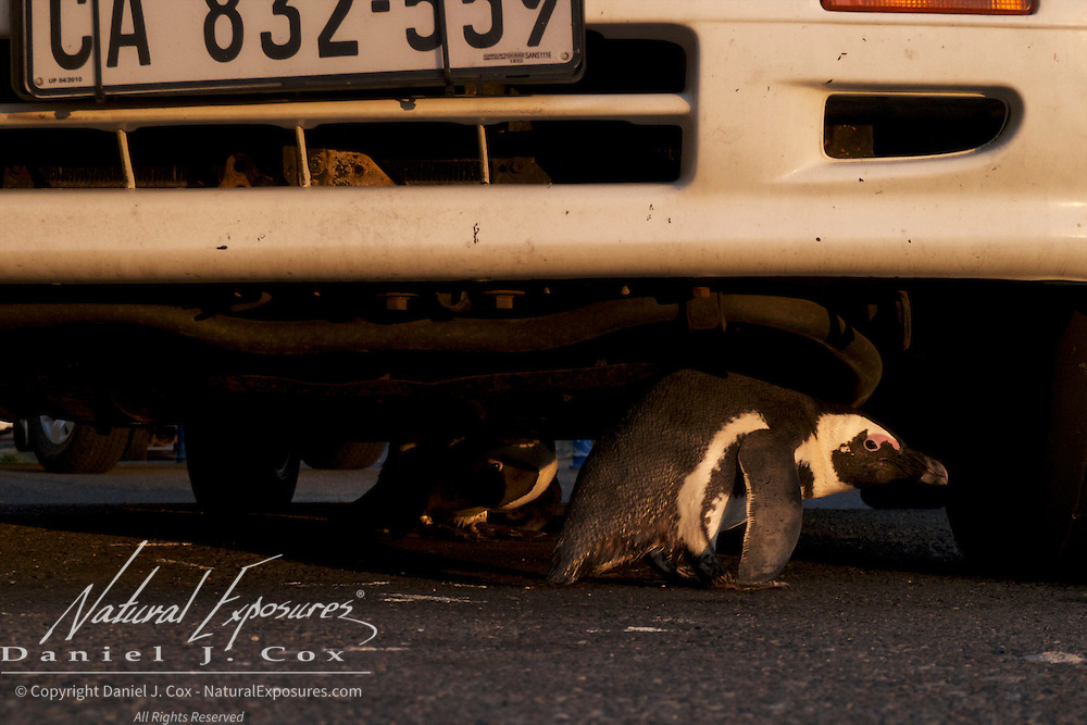 African Penguin takes refuge under a car near the Boulders Penguin Colony in Simons Town, South Africa.