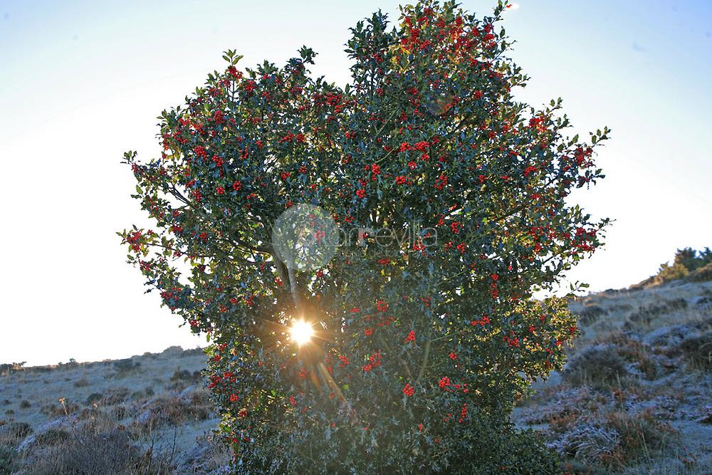 Ilex aquifolium. Acebo. La Rioja ©Daniel Acevedo / PILAR REVILLA