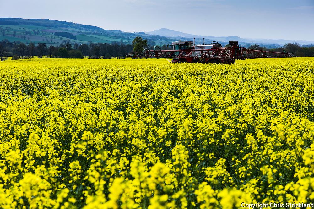 Ancrum, Jedburgh, Scottish Borders, UK. 11th May 2016. A farmer sprays an oil seed rape field with feriliser on a glorious hot day in the Borders.