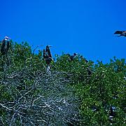 Frigate birds nesting at Contoy Island. Quintana Roo. Mexico.