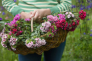 Woman holding basket of flowers mid section close-up