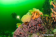 diver examines white-plumed anemones or giant plumose anemones, Metridium farcimen, sea urchins, tunicates, and encrusting algae covering a boulder at Baie des Anglais, off Baie Comeau, Quebec, Canada, St. Lawrence River estuary