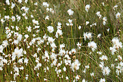 Cotton-Grass (Eriophorum sp.) blooming in an alpine bog on the South Ridge trail of  Cadillac Mountain, Acadia National Park, Maine, USA.