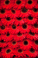 Amsterdam, Holland. Red gerbera flowers at a market.