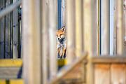 Urban fox cub portrait photographed behind a wooden fence.