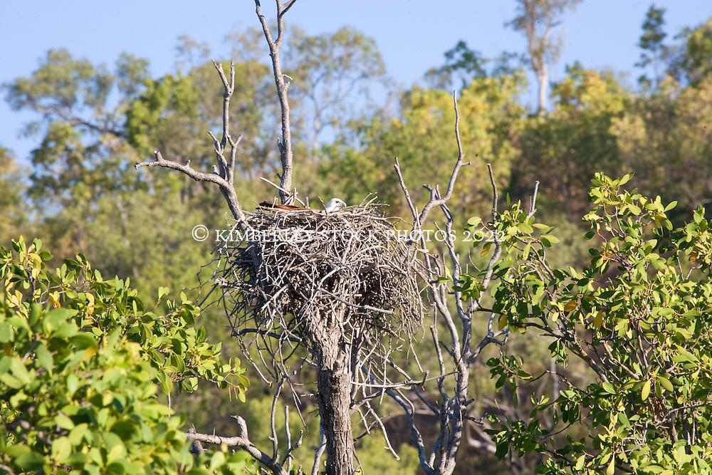A Brahminy Kite sits on her nest in the Hunter River on Western Australia's Kimberley coast.