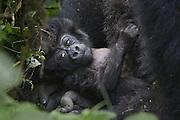 Mountain Gorilla<br /> Gorilla gorilla berengei<br /> infant (less than one month old)<br /> Virunga Volcanoes National Park, Rwanda<br /> *Endangered Species