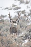 Mule deer buck in falling snow in Wyoming