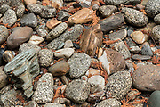 Water smoothed rocks on a streambed along the Upper Priest River, Selkirk Mountains, Idaho.