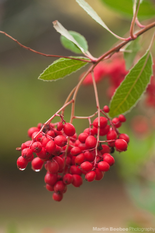 Red berries of toyon (Heteromeles arbutifolia), California