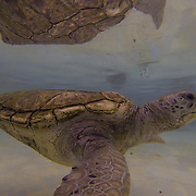 Green Sea Turtle inside tank. Grand Cayman Island.