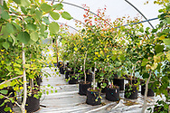 Young aspen trees in a polytunnel at Trees For Life's nursery on Dundreggan Estate, Scotland.