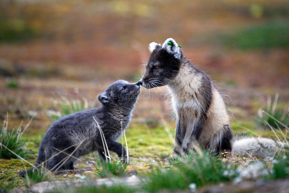 """Arctic Fox mother and cub, Ny-Alesund, Alopex lagopus, living under the """"London Houses"""" , the official name of the Dutch research station at the international scientific research base at Ny-Alesund, Svalbard. The mother had lost her white winter coat in the preceding weeks. This is a wild animal,  and the id-tags were placed on her ears by researchers. Some years ago, Dutch researchers had moved into the """"London Houses"""" to observe barnacle geese that migrate annually from the Netherlands. Soon, however, they had a neighbour - the fox, which then proceeded to prey upon the study subjects."""