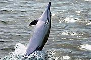 Spanje, Gibraltar, 8-6-2006Dolfijn springt op uit het water in de baai van Algeciras.Foto: Flip Franssen