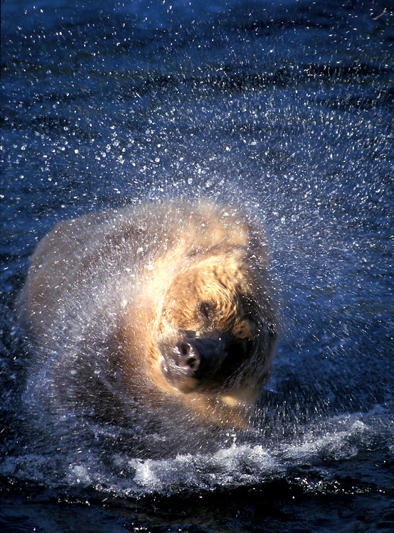 USA, Alaska, Katmai National Park, Grizzly Bear (Ursus arctos) shakes water from wet fur while fishing in Brooks River