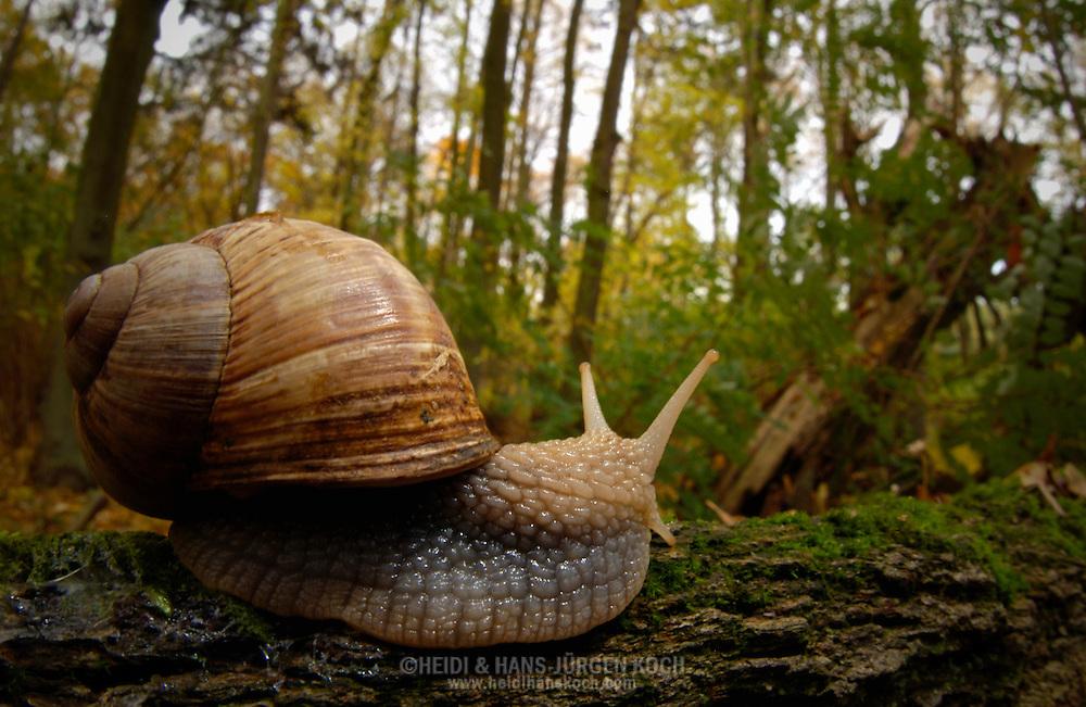 Deutschland, DEU, 2002: eine Weinbergschnecke (Helix pomatia) in ihrer natuerlichen Umgebung, dem Wald. | Germany, DEU, 2002: Edible snail (Helix pomatia)  in it's habitat the forest. |