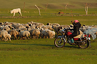 Mongolian Shepherd tending her sheep from motorbike, Bayanbulagu Gatcha, grassland steppe, Inner Mongolia, China
