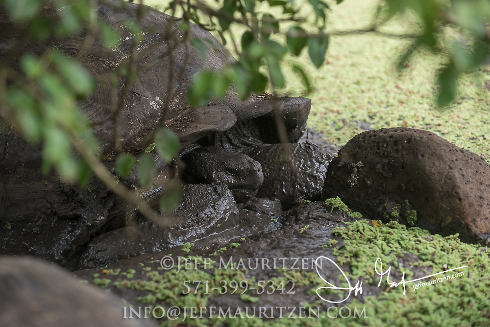 A Galapagos Giant tortoise rests in a small lagoon in the Santa Cruz highlands.