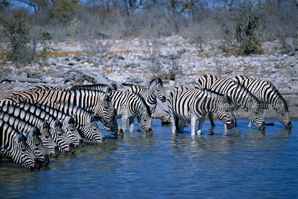 Thirsty zebras drinking in a line at an Etosha Pan waterhole