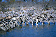 Thirsty zebras drinking in a line at an Etosha Pan waterhole