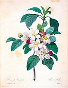 19th-century hand painted Engraving illustration of Apple blossoms (Malus domestica), by Pierre-Joseph Redoute. Published in Choix Des Plus Belles Fleurs, Paris (1827). by Redouté, Pierre Joseph, 1759-1840.; Chapuis, Jean Baptiste.; Ernest Panckoucke.; Langois, Dr.; Bessin, R.; Victor, fl. ca. 1820-1850.