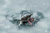 Teist som dykker etter mat i den islagte Isfjorden ved Longyearbyen på Spitsbergen, Svalbard. Mars.