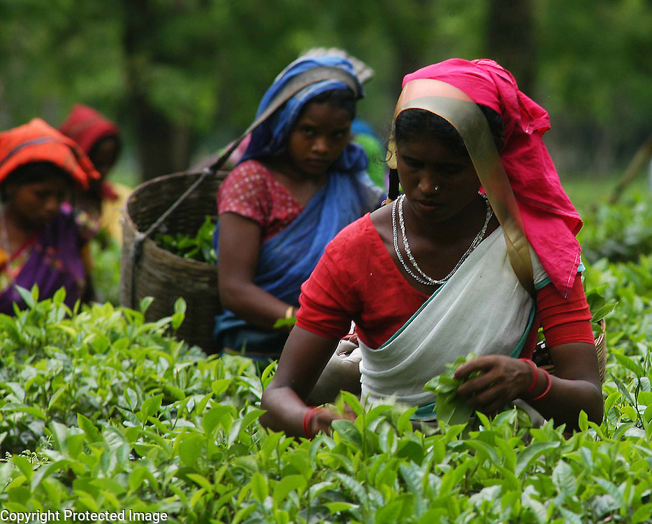 Pix-Tea Garden-3-----Caption : Women tea labourers are plucking tea-leaves from a teagarden of Eastern Indian State Assam. Pix-Shib Shankar Chatterjee...