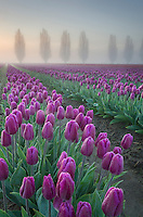 Foggy Sunrise over the Skagit Valley Tulip Fields