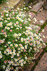 Erigeron karvinskianus syn. mucronatus growing along the edge of a brick path. Mexican daisy