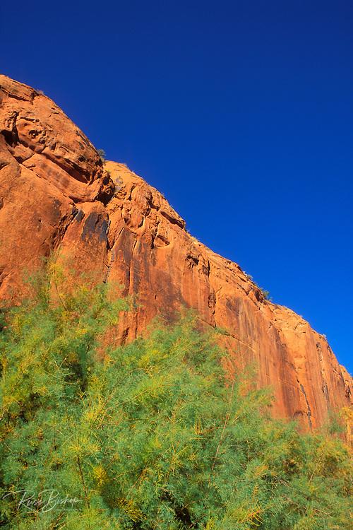 Afternoon light on sandstone cliff and mesquite in Buckskin Gulch, Paria Canyon-Vermillion Cliffs Wilderness, Arizona