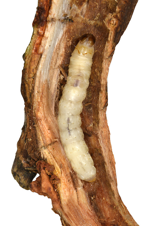 White-barred Clearwing - Synanthedon spheciformis - larvae inside Alder twig