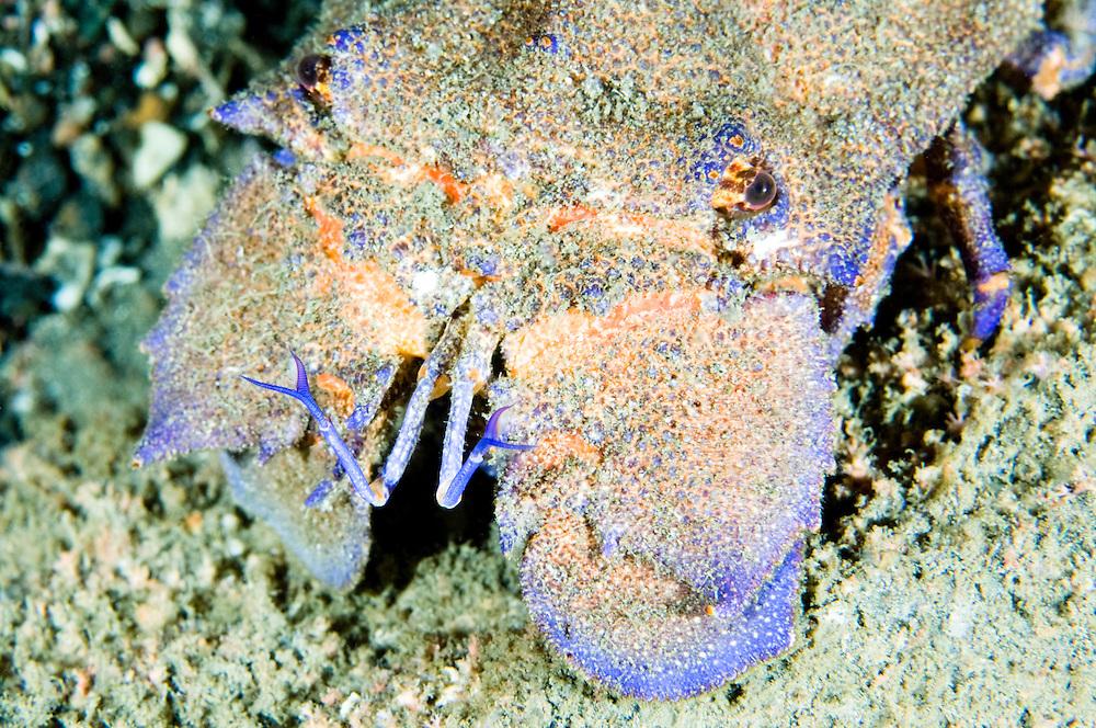 Slipper lobster, Scyllarides latus, Pico, Azores, Portugal