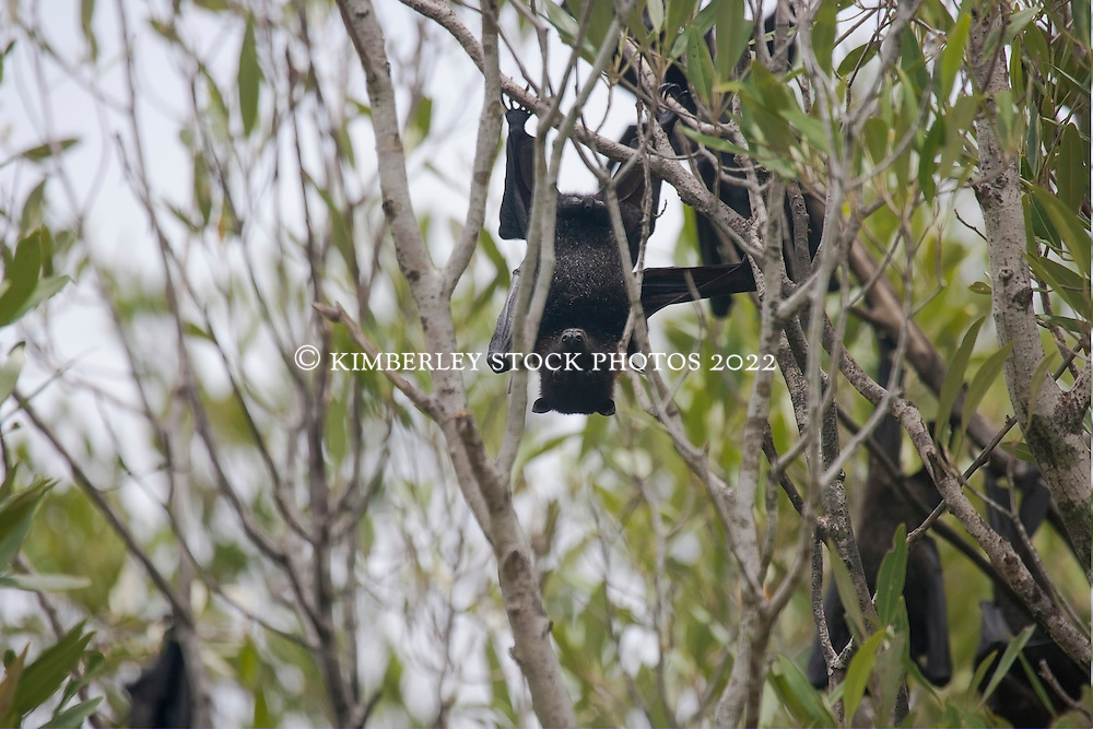 A flying fox hangs in the mangroves in Red Cone Creek on the Kimberley coast.