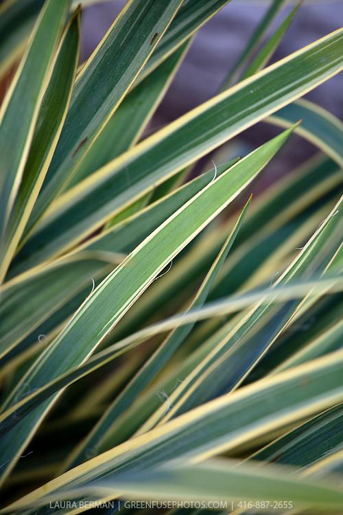 Variegated Adam's needle (Yucca filamentosa 'Variegata')