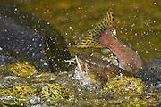 Salmon Swimming River To Spawn, Canada