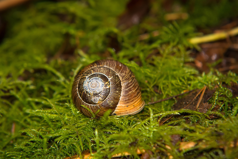 The Oregon forestsnail (not forest snail) is a long-lived, slow-moving animal that is food for many other animals and is found in the western part of Oregon and Washington states, north into extreme southwestern British Columbia - where it is listed as an endangered species (and is listed as vulnerable for the US). This one was found just on the western side of the Cascade Mountains in King County, Washington.