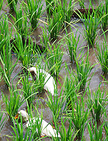 Two ducks swimming through the channels in a rice paddy in Bali, Indonesia.