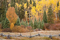 Autumn paints Aspen (Populus tremuloides), Black Cottonwood (Populus deltoides) and Red Osier Dogwood  along with spruces along a rail fence in the Uncompahgre National Forest, Colorado, USA.