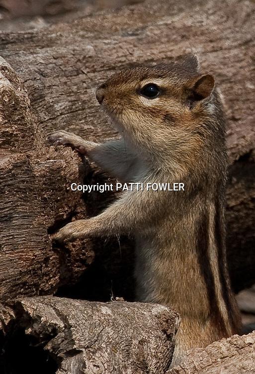 chipmunk on hind legs in woodpile