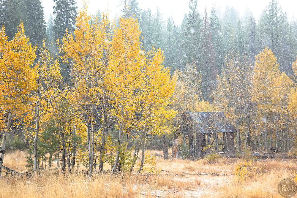 """Shack in the Aspens 11"" - Photograph of an old shack in among aspens with yellow fall colors during a light snowfall."