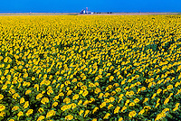 Sunflower fields, Schields & Sons Farm, near Goodland, Western Kansas USA.