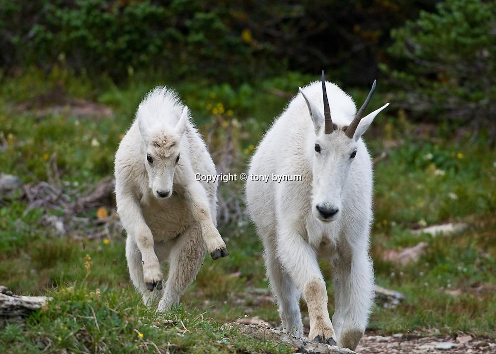 mountain goat kid jumping beside nanny, glacier national park