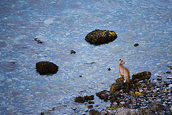A puma cub (Puma con color) also known as a mountain lion or cougar,  standing on lakeside stromolite rock, Torres del Paine, Chile, South America