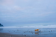 A yellow lab digs to bury a stick on the beach in Neskowin, Oregon.