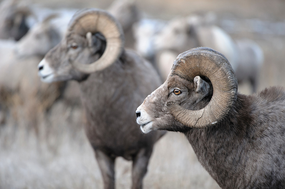 Bighorn Rams size each other up during the Autumn mating rut, Western Montana